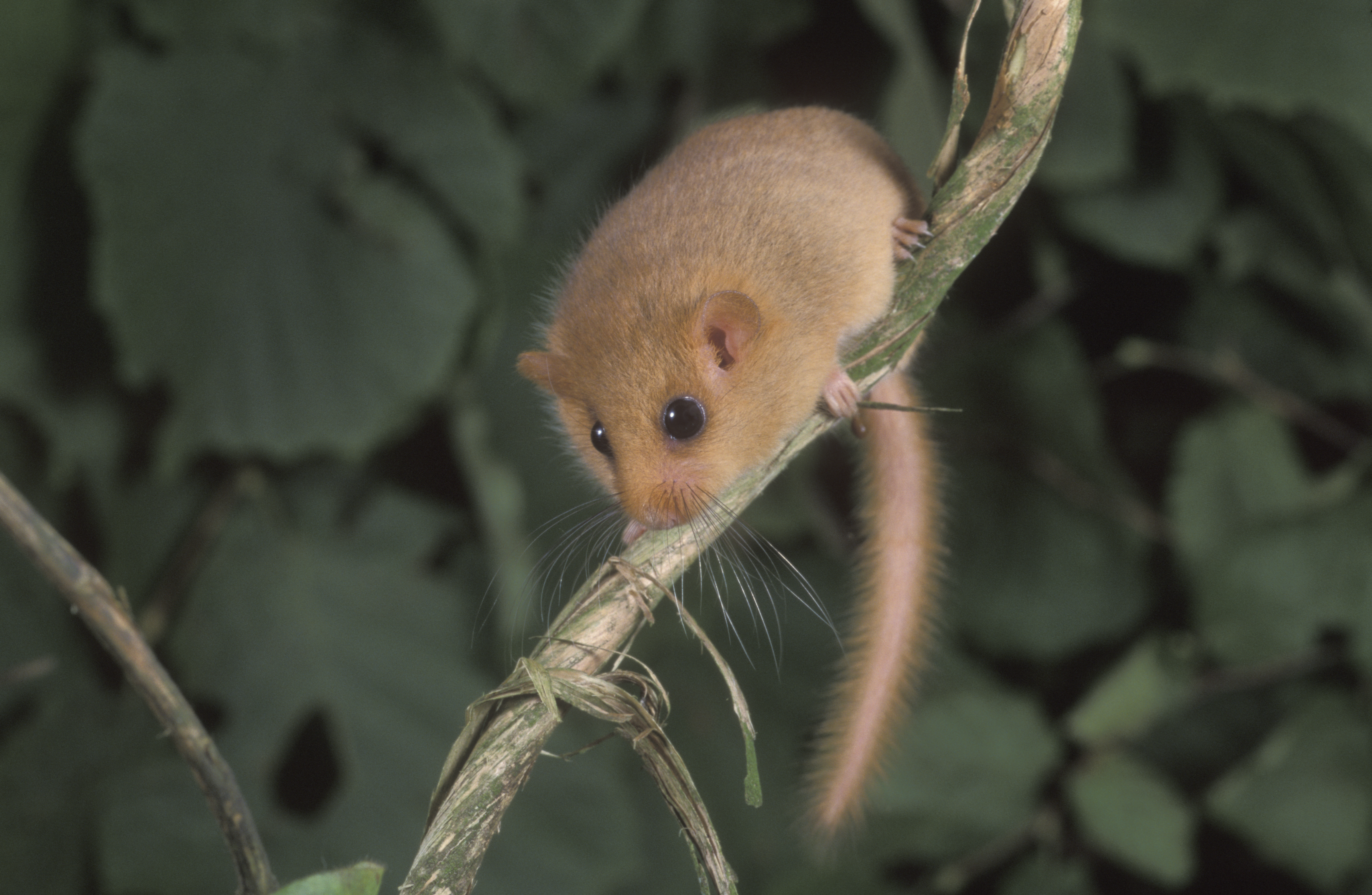 A hazel or common dormouse on a branch