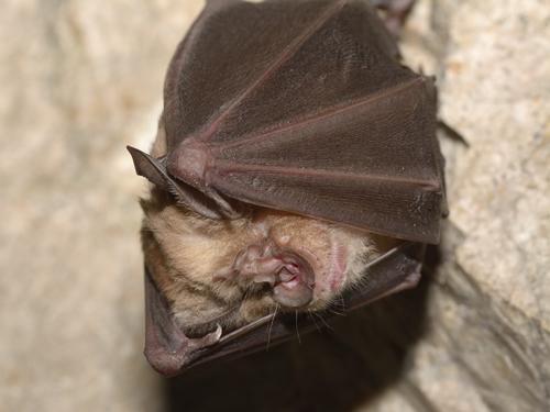 Greater horseshoe bat (Rhinolophus ferrumequinum)