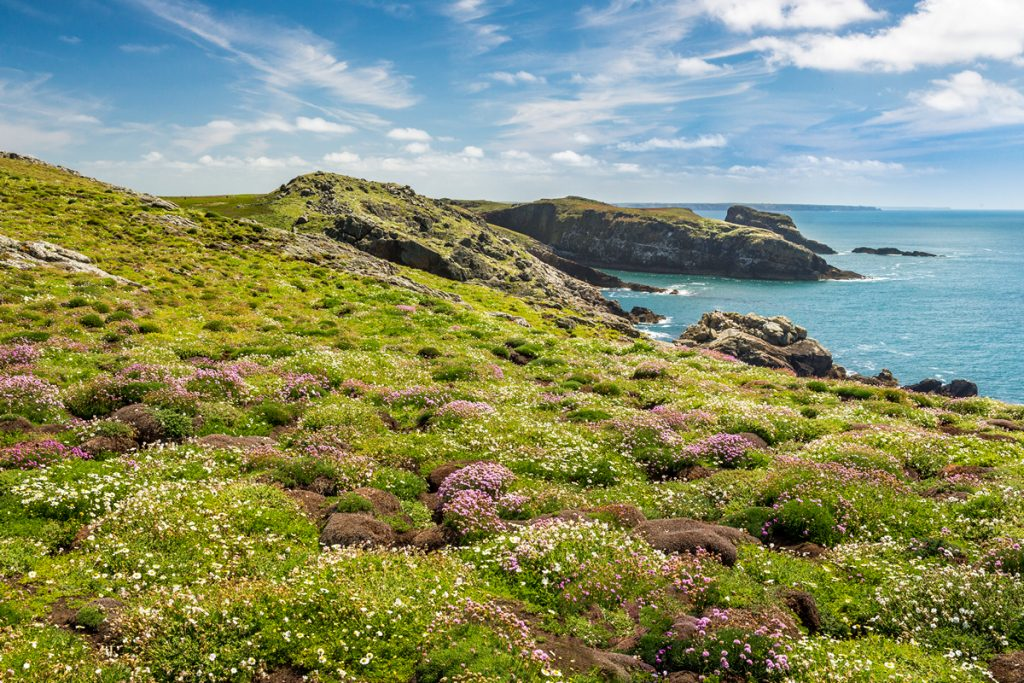 Spring flowers on Skomer Island, Pembrokeshire Coast National Park, Wales, UK
