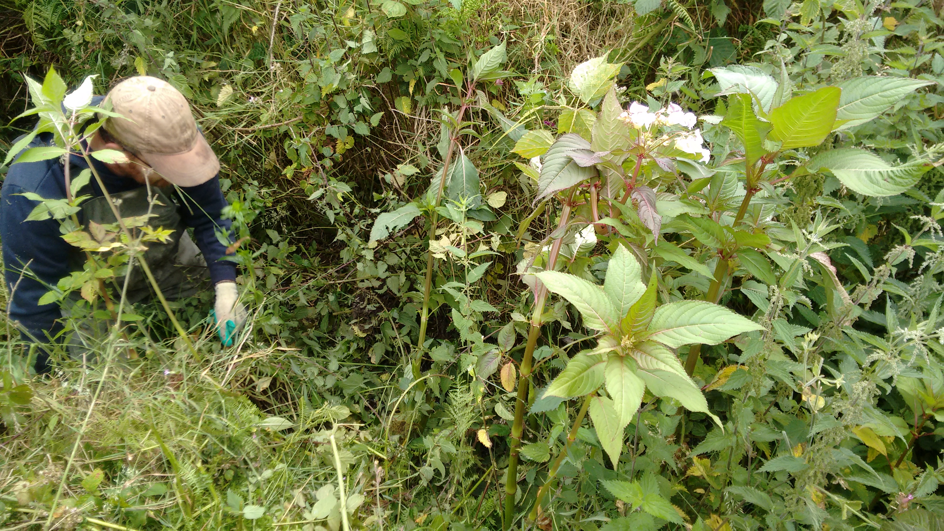 Himalayan Balsam next to a tributary of the River Gwaun
