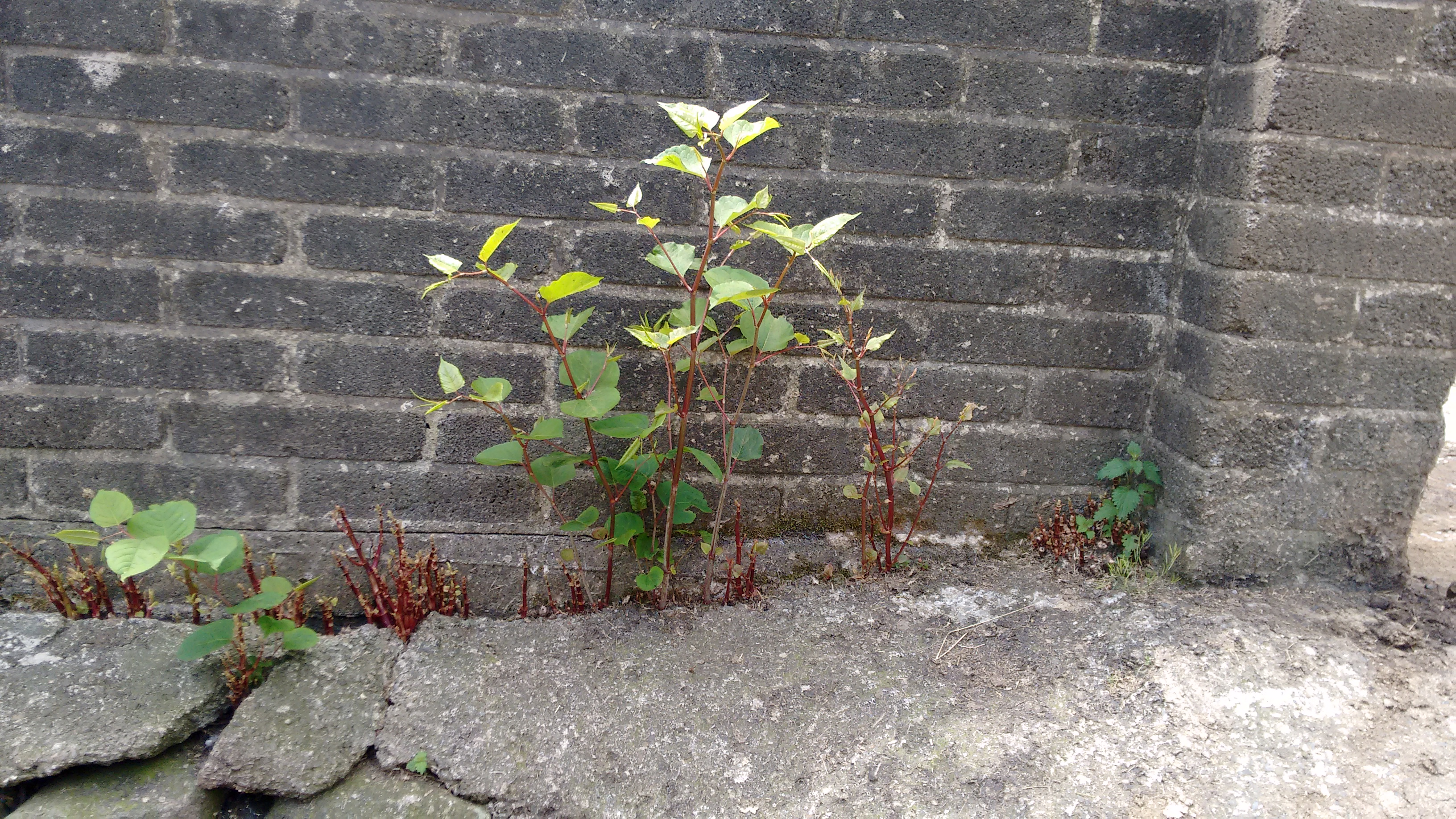 Japanese Knotweed damaging a building