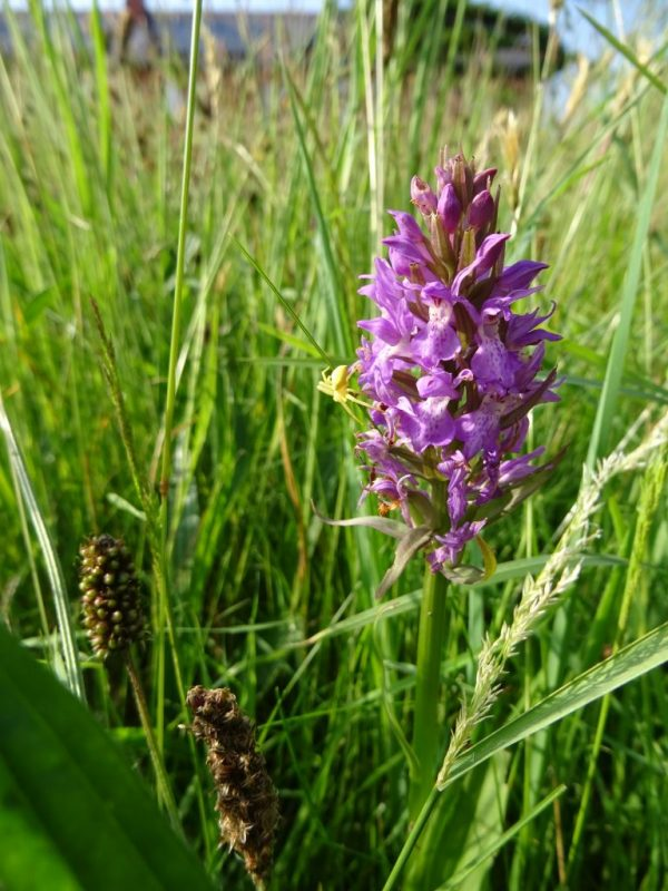 Southern Marsh Orchid, Pembrokeshire Coast National Park, Wales, UK