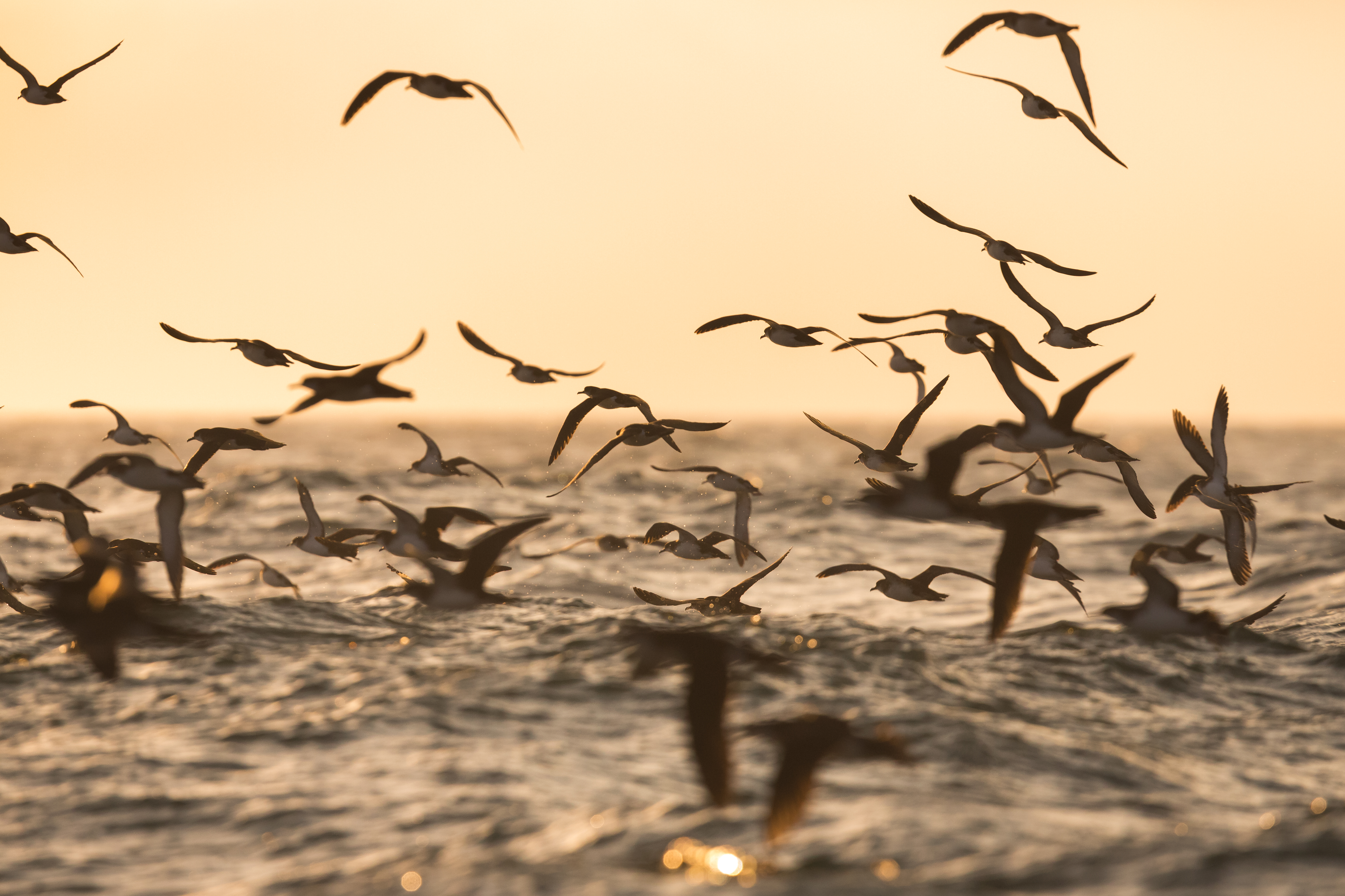 Manx Shearwaters off the Pembrokeshire Coast