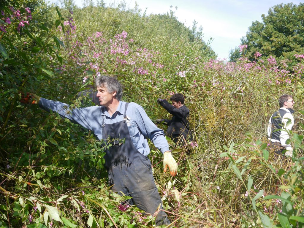 National Park Ranger Ian Meopham leading a Balsam Bashing event in Porthgain, Pembrokeshire, Wales, UK