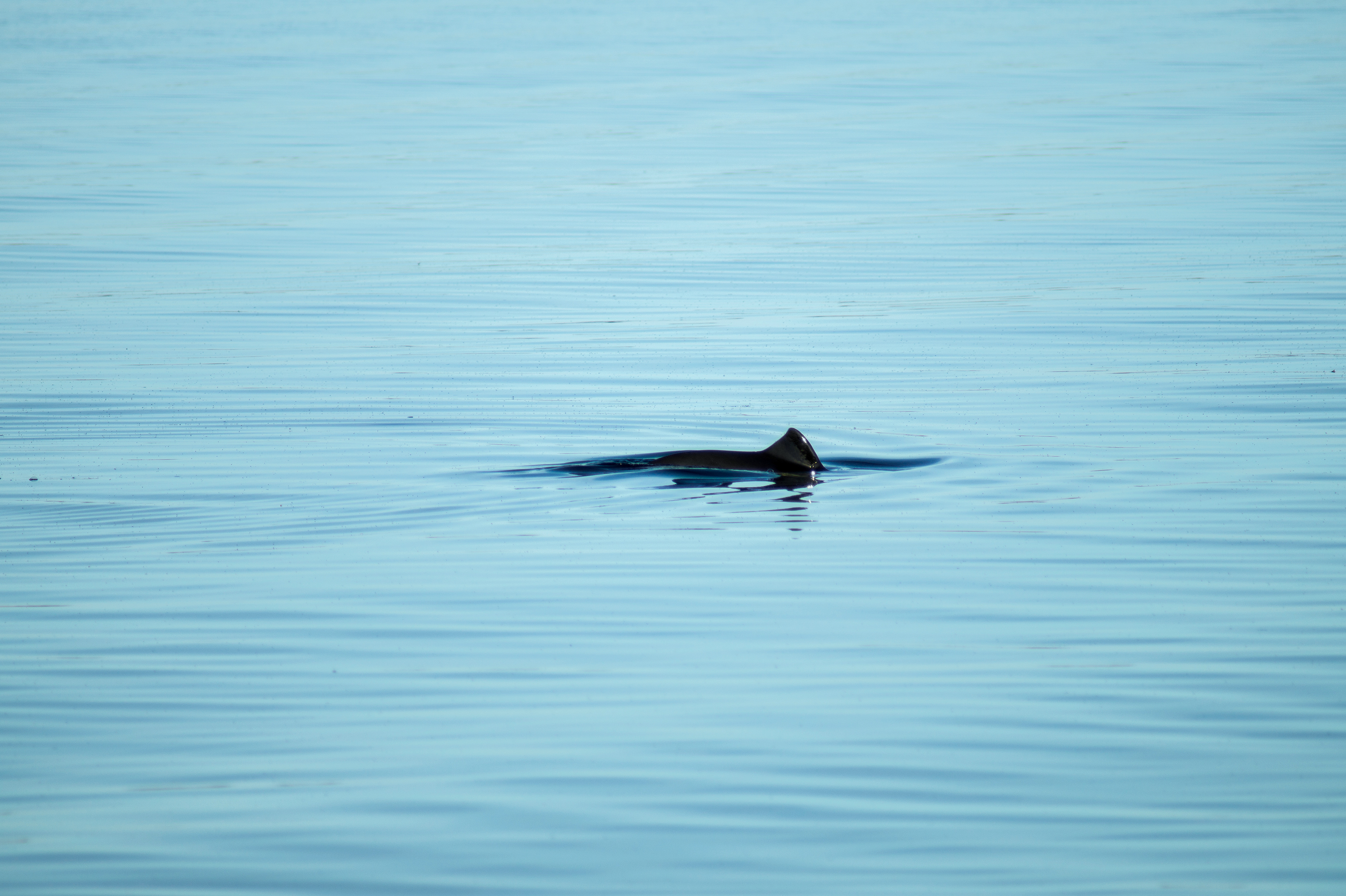 Porpoise fin breaching the water
