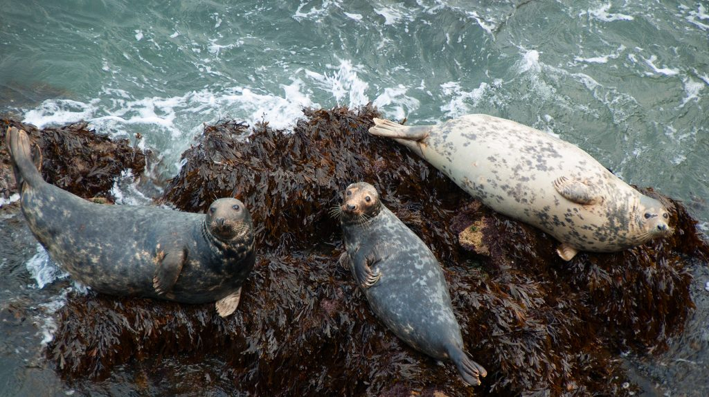 Seals Resting in Wales