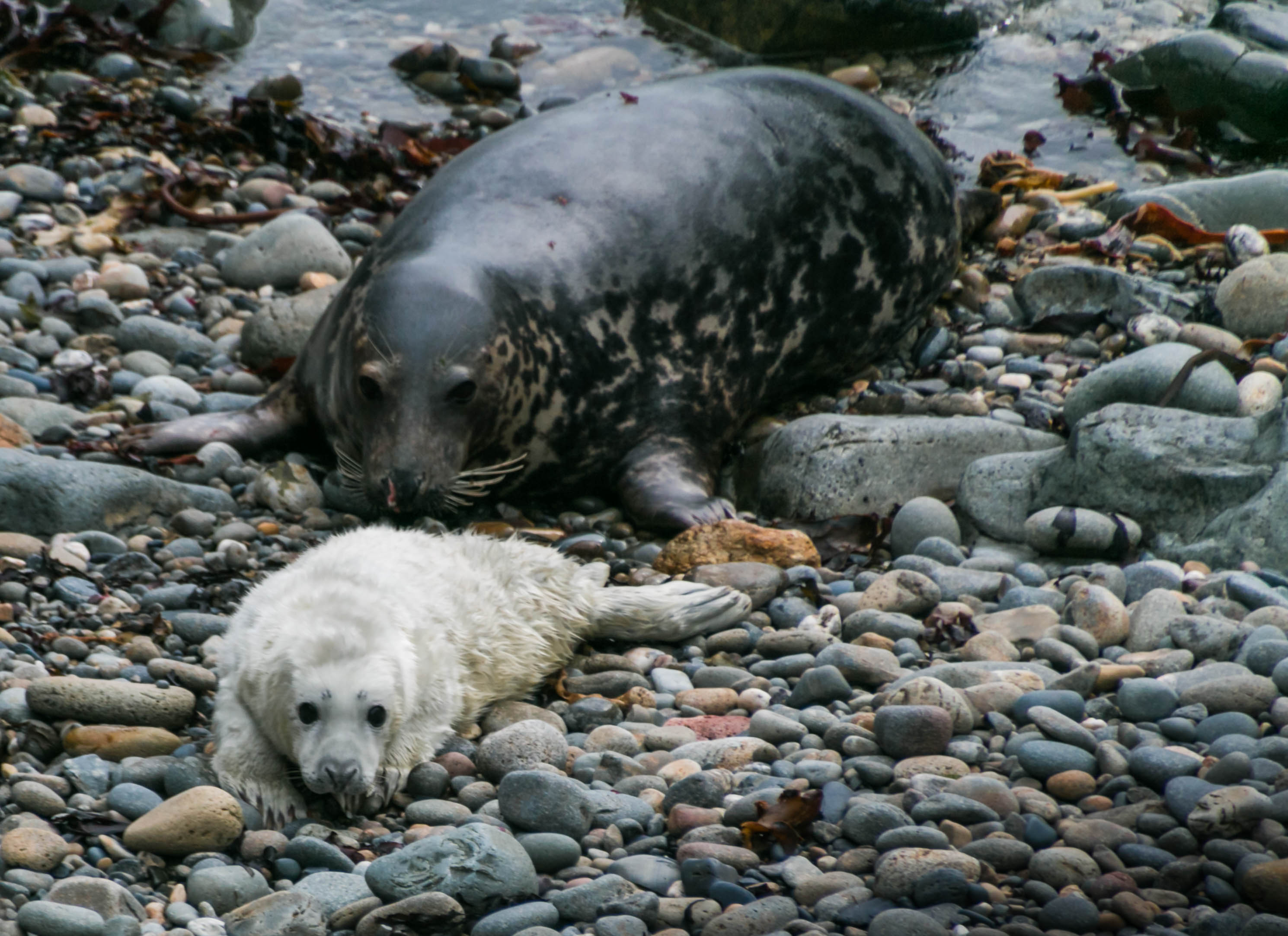 Grey seal cow with newborn pup on Ramsey Island near St Davids, Pembrokeshire Coast National Park, Wales, UK