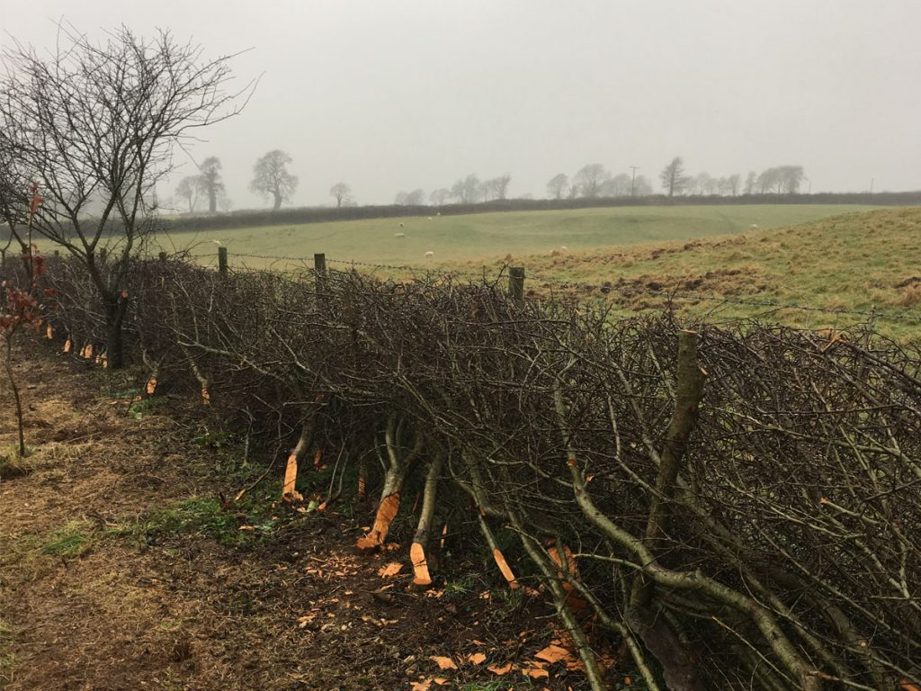 Example of traditional hedgelaying