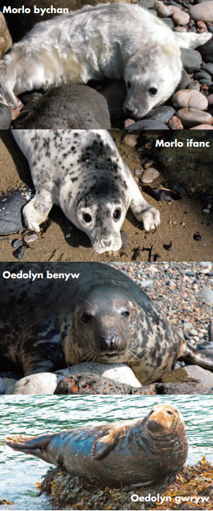 images of seals from seal pup, to juvenile, to adult