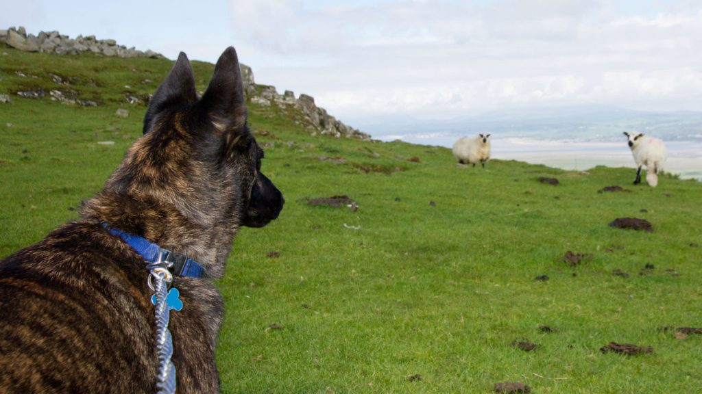 Dog on a lead looking at a sheep